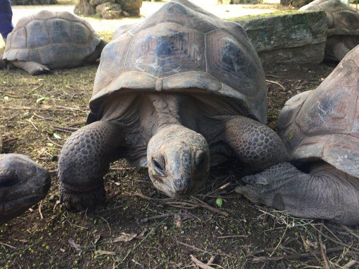 giant tortoise in rodrigues